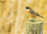Stonechat in front of the Bittern Hide