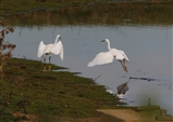 2 egrets better than one