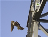 'Peregrine Falcon'