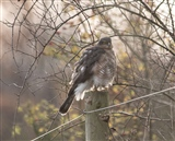 sparrowhawk from field pool west 24.11.2014
