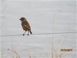 Is this a female Stonechat?