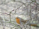 This robin was watching me has I started my patrol of Edderthorpe today.