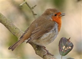 Adwick Robin Singing