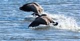 Canada Geese 21st Feb 2015