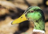 Hey up Duck
