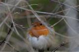 Friendly little robin
