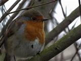 Sweet lil robin