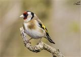 Goldfinch in the garden hide