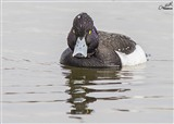 Tufted Duck. Looks like hes saying...