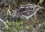 One of five Snipe foraging in the margins at Wath-ings today.