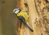 Bird garden Bluetit