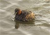 Little Grebe at the Reedbed Hide