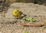 Yellowhammer bird garden