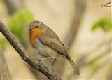 Robin bird garden