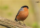 Bullfinch birdgarden