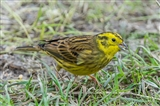 Yellowhammer in the TSF
