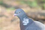 Pigeon in birdgarden