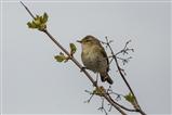 Willow Warbler 22/4/16