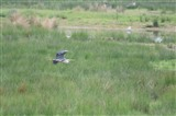 The Grey Heron away again