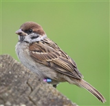 Posing Tree Sparrow