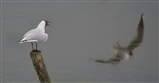 Black headed gull watching a flyby