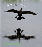 ~Cormorant Incoming!