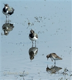 View 2 of small wader- with Lapwing