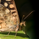Close-up of Speckled Wood butterfly