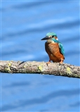 Kingfisher from the bittern Hide