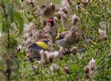 goldfinches adwick 28.08.2016