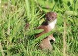 Weasel in front of bittern hide