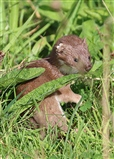 Weasel with Ticks?