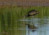 Glossy Ibis At RSPB Frampton Marsh 27.06.14
