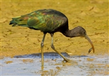 Another View of the Glossy Ibis eating a Terrapin.