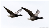 Inflight Brent Geese