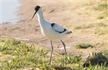 Avocet with rings