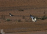 Oystercatcher pair arrives to the marsh