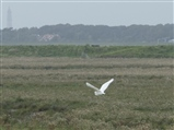 Little Egret - Hesketh