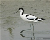 Avocet ballett