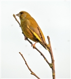 Greenfinch at Marshside.