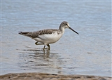 Greenshank (Tringa nebularia) RSPB Titchwell Marsh beach Norfolk 08/09/15