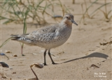 Summer Knot at Titchwell