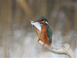 Female Kingfisher at Fen hide