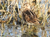 Snipe Spotted yesterday afternoon.