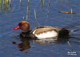 Male red Crested Pochard at the Fen hide