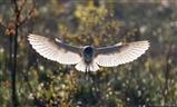 Early Morning Barn Owl