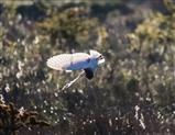 Barn Owl diving