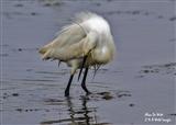 Foraging Little Egret