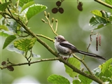 Long-Tailed Tit 02