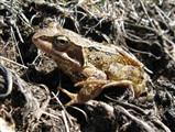 common frog KG.jpg